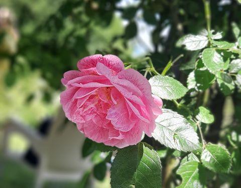 Med cvetočimi vrtnicami