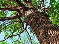 Odstranitev drevesnega vrha - nevarna in sporna